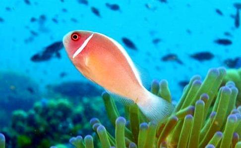 咖啡小丑鱼怎么养?咖啡小丑饲养方法
